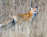 Red Fox Stalking in the Tall Grass.jpg