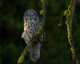 Great Gray Owl in the Trees Near Canyon.jpg