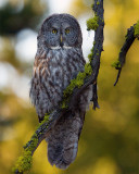 Great Gray Owl Near Canyon Vertical.jpg