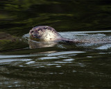 River Otter in the Water.jpg