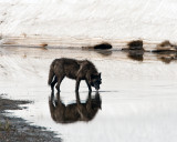 Canyon Wolf Drinking from the Creek.jpg