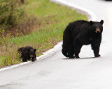 Black Bear with Cubs Crossing the Road.jpg