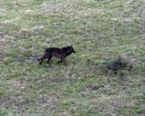 Black Wolf Running on the Hillside.jpg