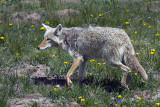 Coyote in the Wildflowers.jpg