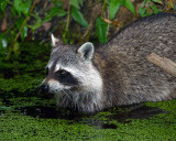 Racoon in the Water.jpg