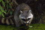 Racoon Washing His Food.jpg