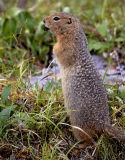 Arctic Ground Squirrel.jpg
