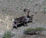 Caribou Climbing Hill.jpg
