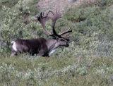 Caribou in the Brush.jpg