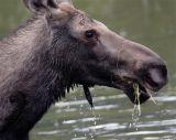Moose Eating Closeup.jpg