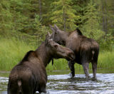 Moose Leaving Horseshoe Lake.jpg