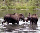 Two Moose in Horseshoe Lake Nose to Nose.jpg