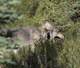 Wolf with radio collar near the Savage River Campground.jpg