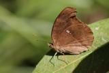 Melanitis zitenius