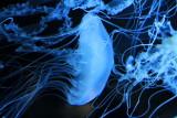 Shedd Aquarium, Chicago, IL - Jellies 2012, jellyfish