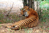 Tiger, Bannerghatta National Park, Karnataka