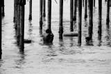 Clinging for life on pier, Alappuzha beach, Alappuzha, Kerala