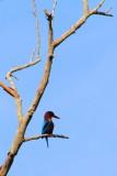 White Breasted Kingfisher, Kumarakom bird sanctuary. Kerala