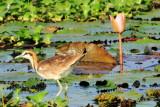 Juvenile Bronze winged Jacana, Kumarakom bird sanctuary. Kerala