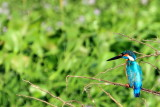 Little Blue Kingfisher, Kumarakom bird sanctuary. Kerala