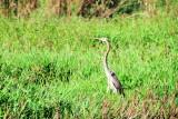 Heron, Kumarakom bird sanctuary. Kerala