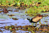 Bronze winged Jacana, Kumarakom bird sanctuary. Kerala