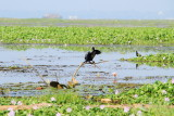 Little Cormorant, Kumarakom bird sanctuary. Kerala