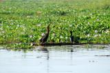 Darter and Little Cormorant, Kumarakom bird sanctuary. Kerala