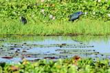 Purple waterhen, Kumarakom bird sanctuary. Kerala