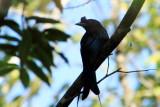 Drango, Kumarakom bird sanctuary. Kerala