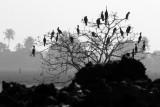 Darters, Cormorants, Kumarakom bird sanctuary. Kerala