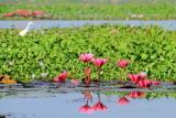 Water Lily, Kumarakom bird sanctuary. Kerala