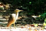 Indian Pond Heron, Kumarakom bird sanctuary. Kerala