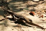 Large lizard, Kumarakom bird sanctuary. Kerala