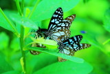 Butterflies, Kumarakom bird sanctuary. Kerala