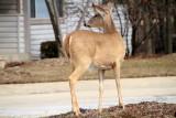 Deer, Wellington Park, Spring 2013, Palatine, IL
