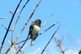 Dark-eyed Junco (Junco hyemalis hyemalis), Spring 2013, Palatine, IL