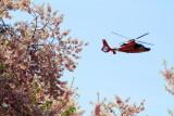 Cherry Blossoms, Coast Guard Helicopter, Washington D.C.