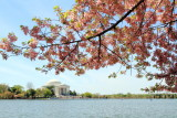 Cherry Blossoms, Tidal Basin, Thomas Jefferson Memorial, Washington D.C.