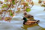 Ducks, Cherry Blossoms, Tidal Basin, Washington D.C.