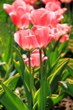 Tulips, Washington D.C.
