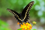 Male Pipevine Swallowtails
