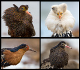 Portaits of different Ruff male breedingplumages