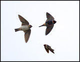 American Cliff Swallow (Stensvala) First record in Sweden - snapping insects Öland (3 files)