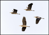 Grey Heron at Lake Bergunda (Gråhäger kollage) - 4 pictures