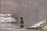 Mallard in heavy snowfall (Gräsand) - Räppe Växjö