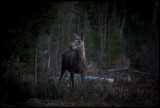 Moose in the middle of the night - Strömsund