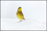 Yellow Bunting - Norway