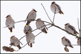 Two more places left to sit on! Bohemian Waxwings (Sidensvansar) - Rockneby