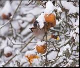 Bohemian Waxing (Sidensvans) and Christmas apples - Rockneby